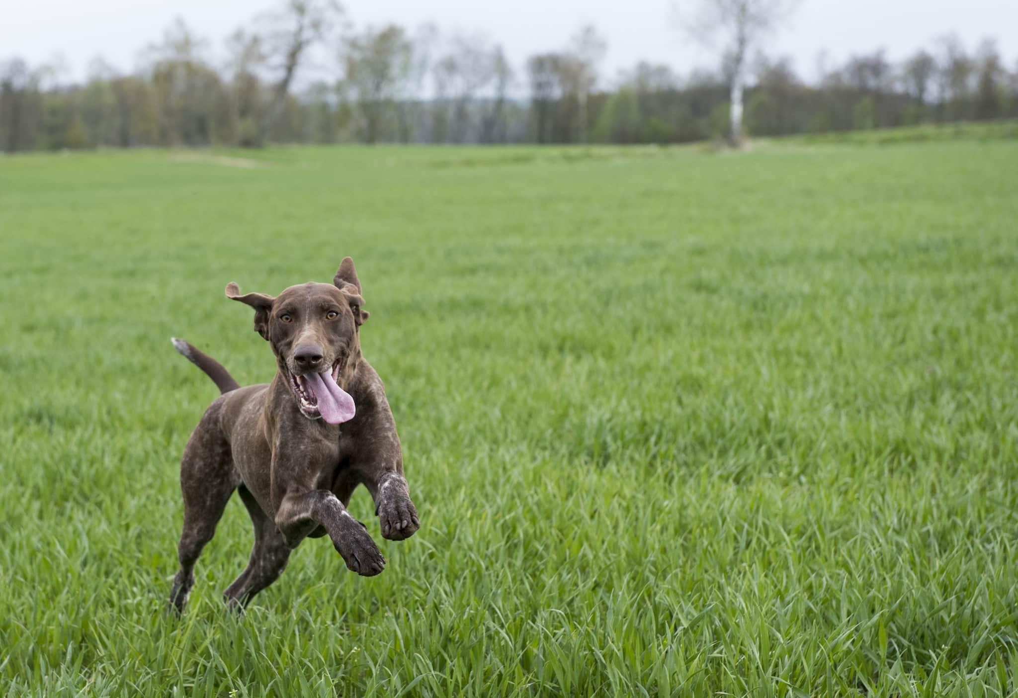 Hundar som behandlas mot en vanlig hjärtsjukdom kan få ett längre liv, enligt forskare vid Sveriges Lantbruksuniversitet. Foto: Jan Henricson