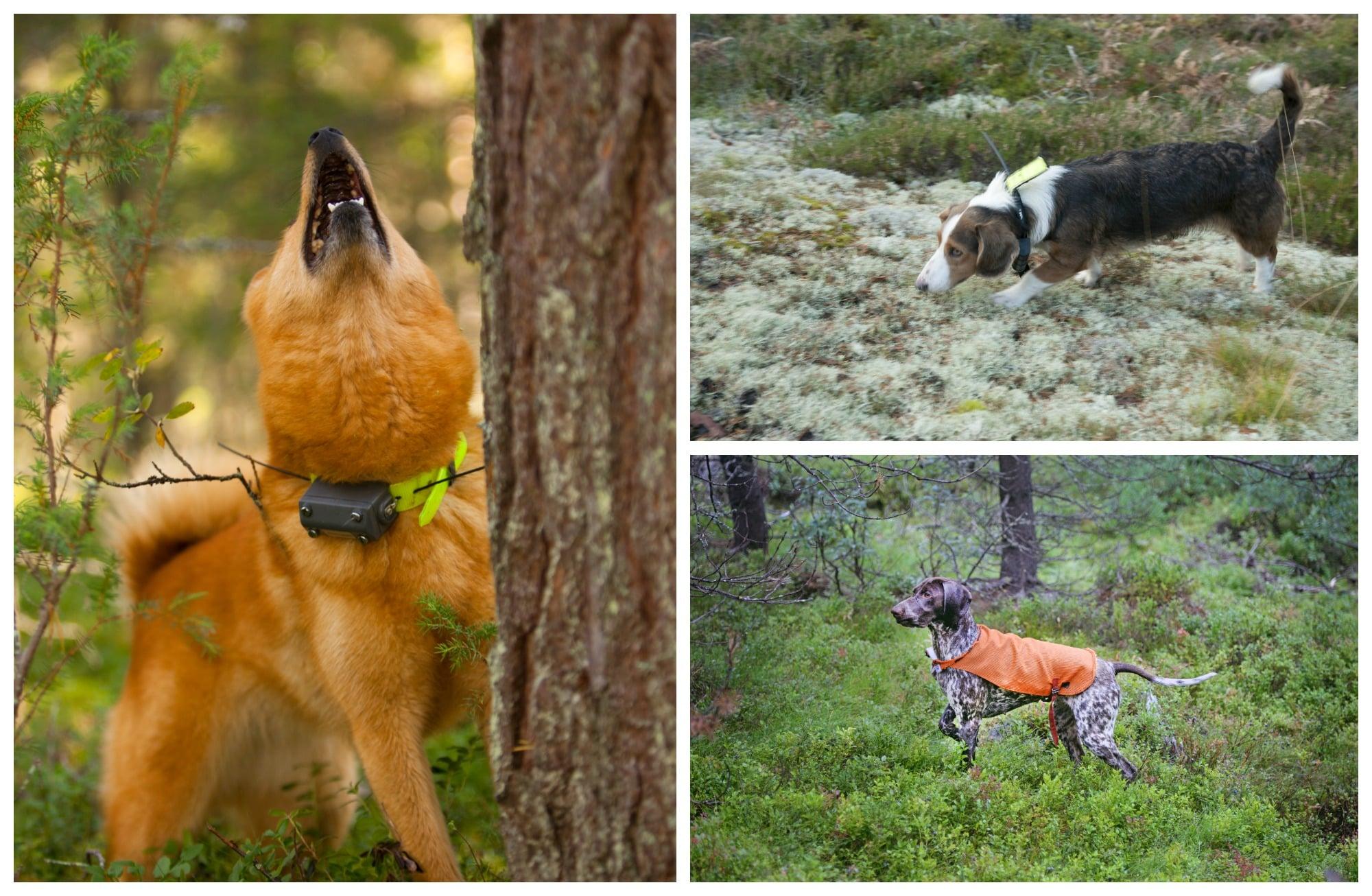 Finsk spets, drever och korthårig vorsteh. Foto: Kjell-Erik Moseid, Jan Henricson, Lars-Henrik Andersson
