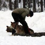 Naturvårdsverket vill helst inte flytta fler vargar i sitt arbete att förstärka genetiken i vargstammen. Foto: Olle Olsson