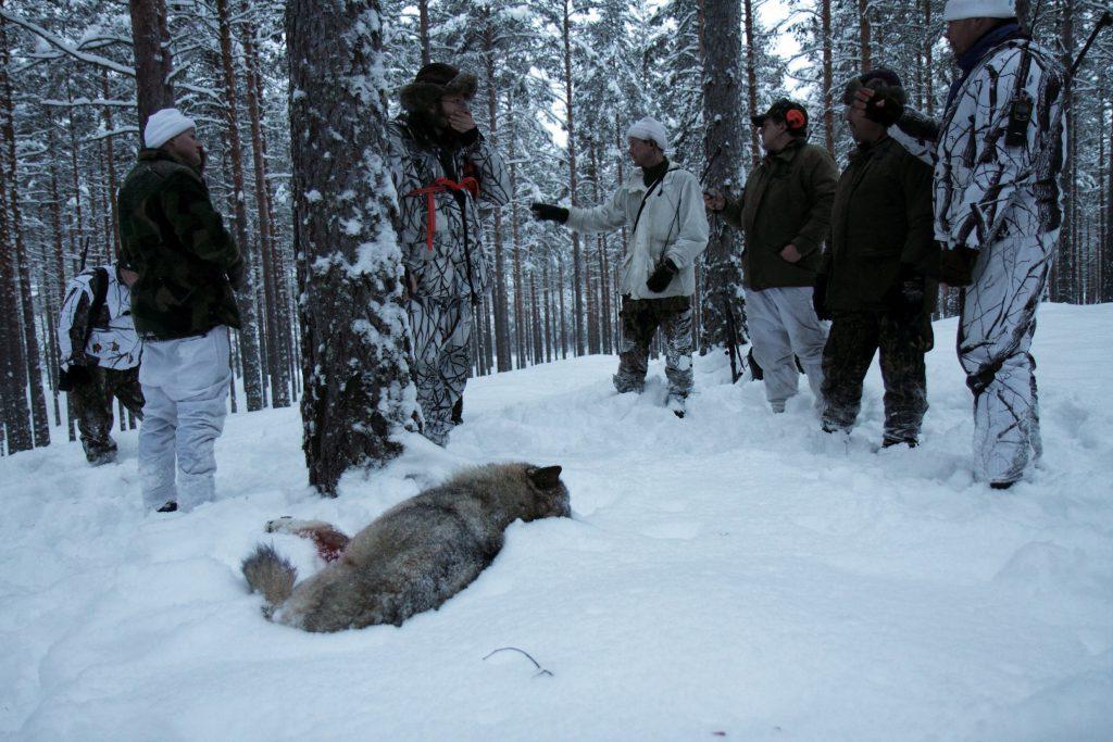 Vinterns vargjakt är överklagad till Förvaltningsrätten. Arkivfoto: Olle Olsson