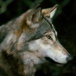 Forskare larmar nu om att kunskapsläget är dåligt vad gäller effekterna att återintroducera vargen i vissa områden i Europa