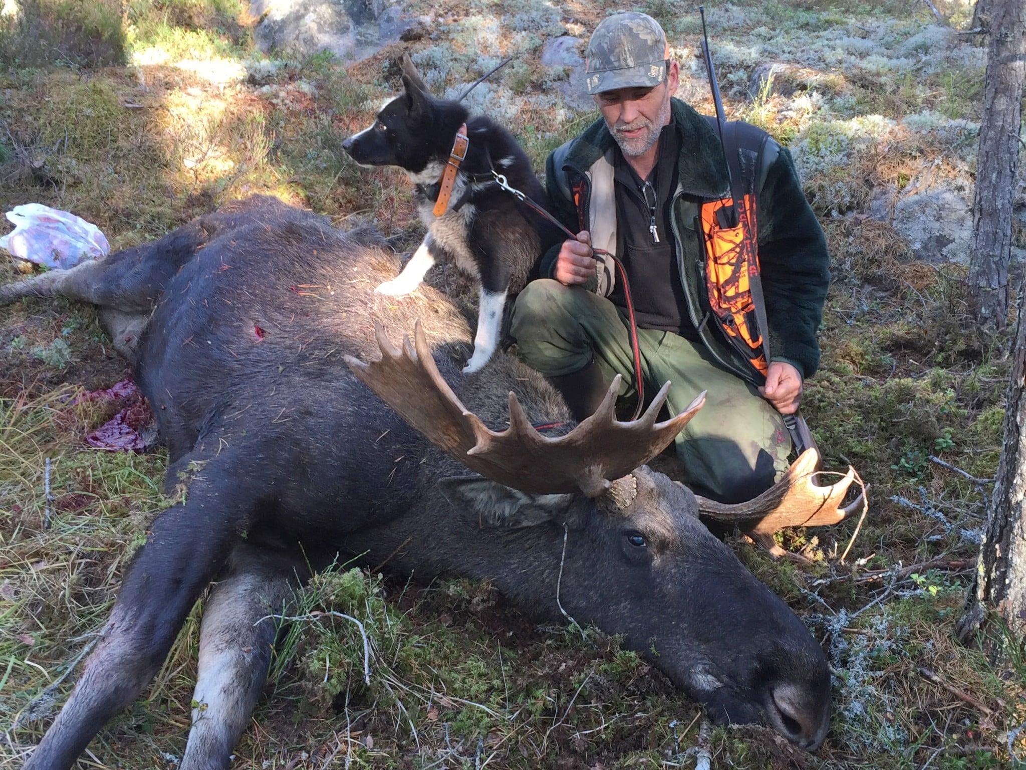 Karelska björnhunden Noppi och jaktledaren Sven Lindberg med den rekordstora älgtjuren som fälldes på premiärdagen. Foto: Jan-Erik Johansson
