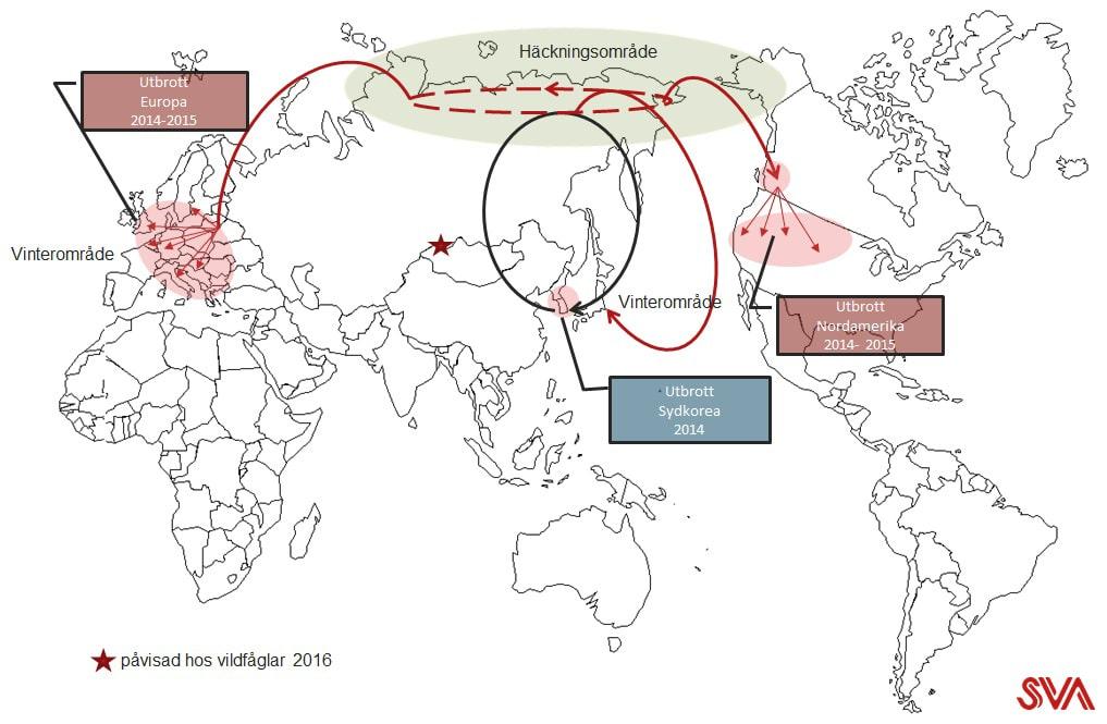 Fågelinfluensan H5N8 har fått global spridning genom flyttfåglars flygrutter och häckningsplatser. Illustration: Siamak Zohari/SVA