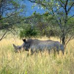 Vit noshörning. Foto: Marie Gadolin