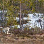 Spårförhållandena i Västerbotten är inte de bästa, därför har länsstyrelsen svårt att lokalisera de vargar man misstänker bildat revir i Nordmaling. Foto: Kjell-Erik Moseid