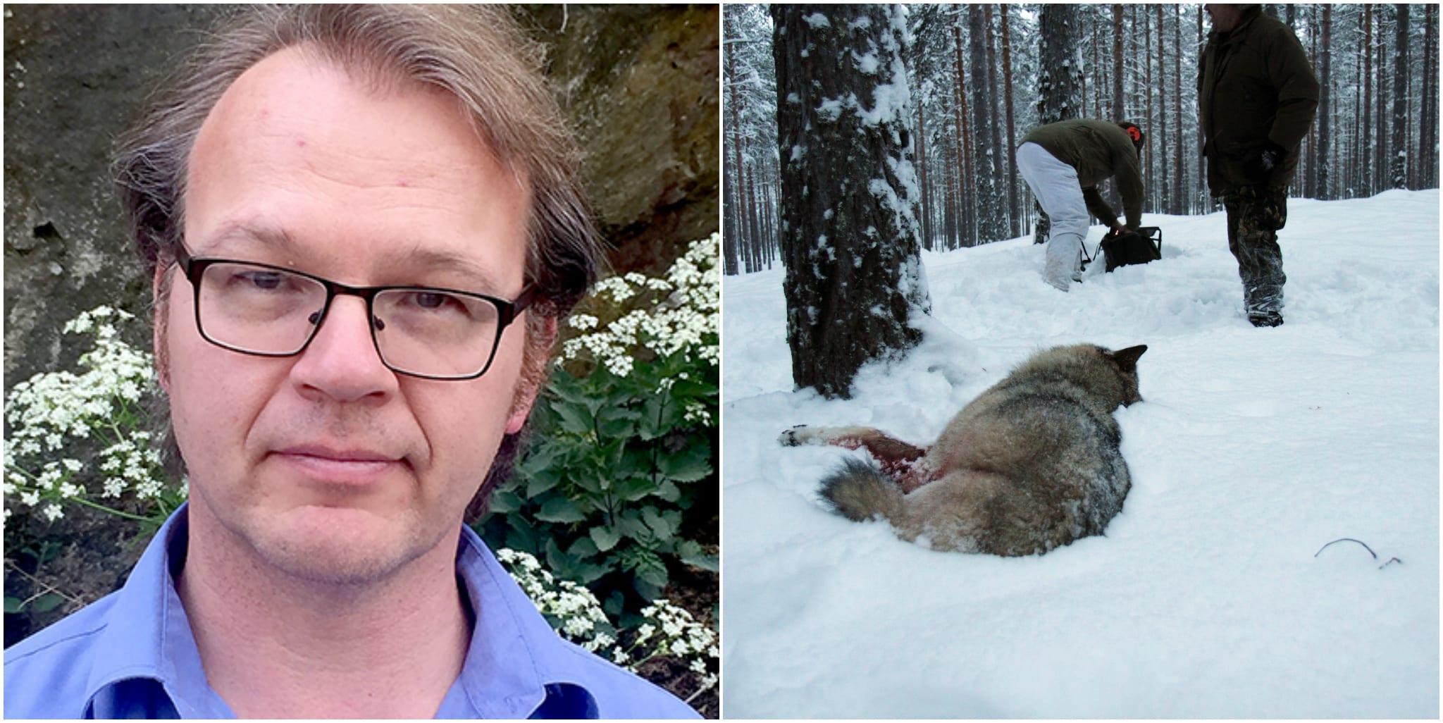 Rovdjursföreningens ordförande Torbjörn Nilsson ger sin förklaring till varför föreningen inte ville delta i förra veckans symposium som syftade till att bekämpa illegal jakt på varg.