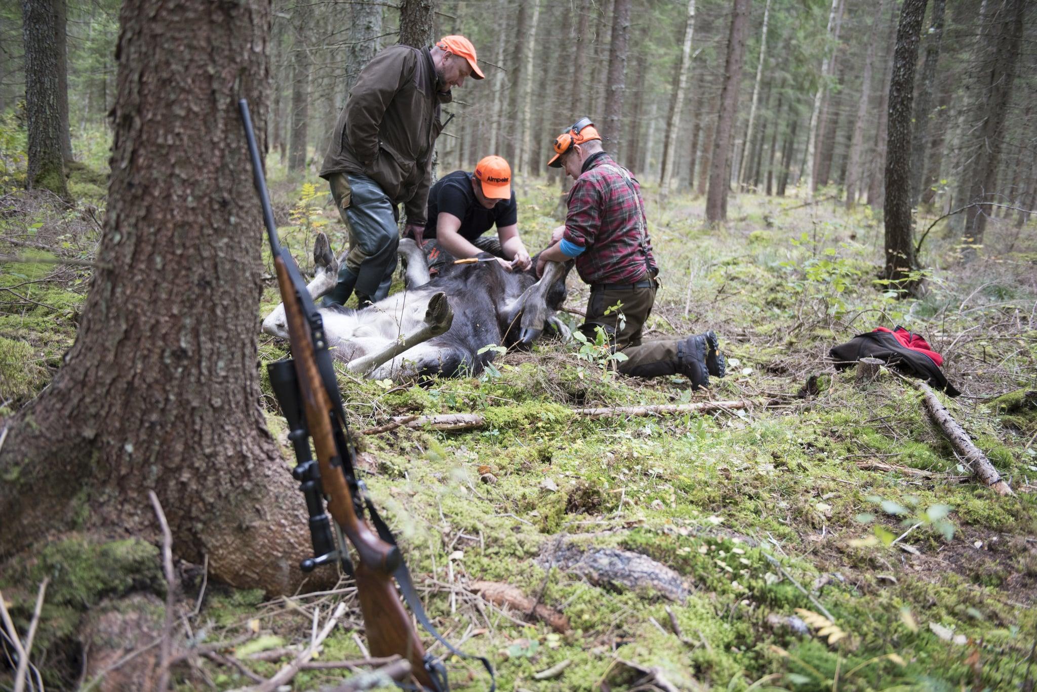 Jägarna i västra Blekinge kan jaga älg, men utan en fungerande styrning i förvaltningsområdet blir älgstammen lidande. Foto: Jan Henricson