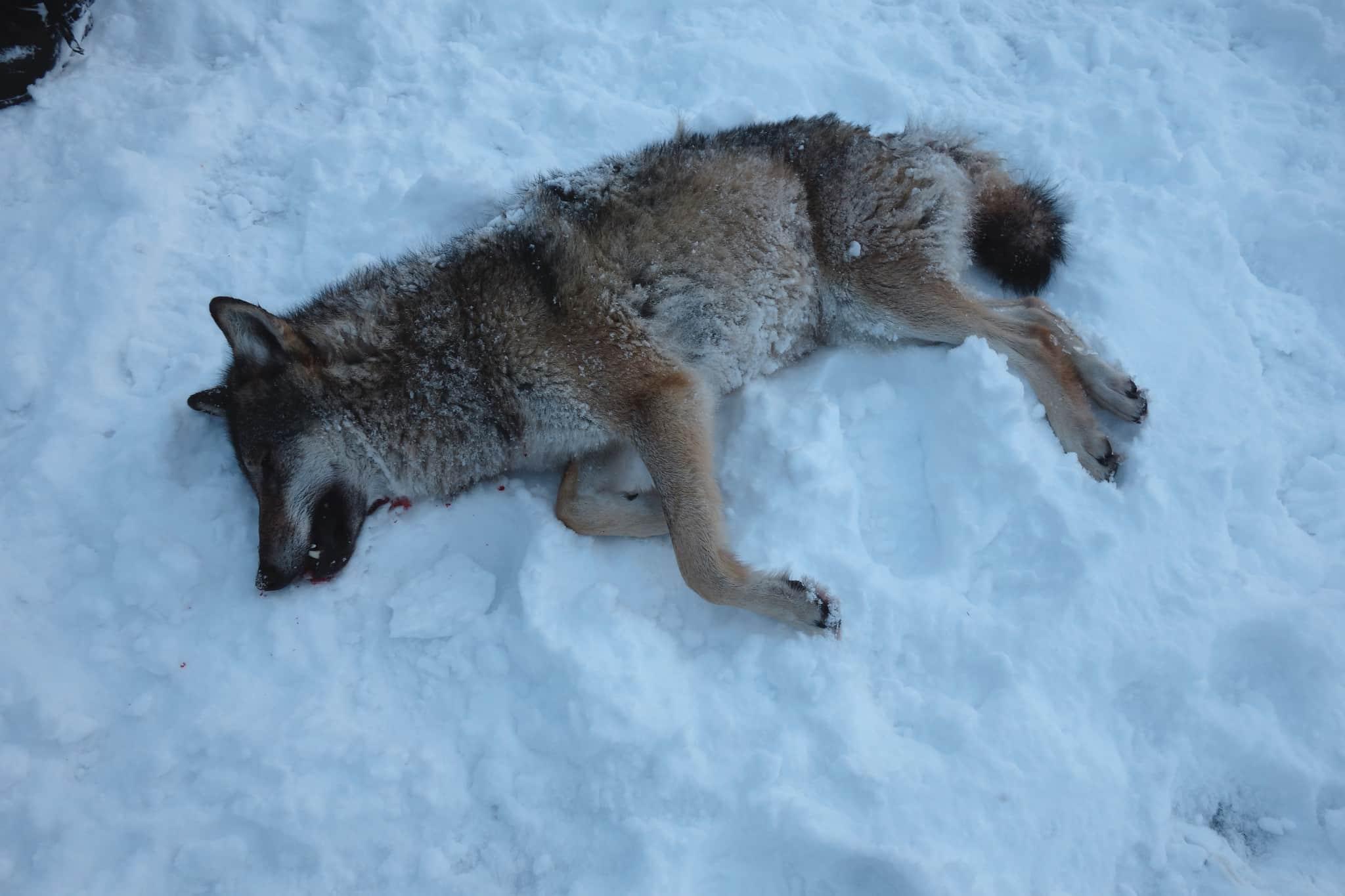 En av vargarna som avlivades av länsstyrelsen i Njaarke sameby. Foto: Privat