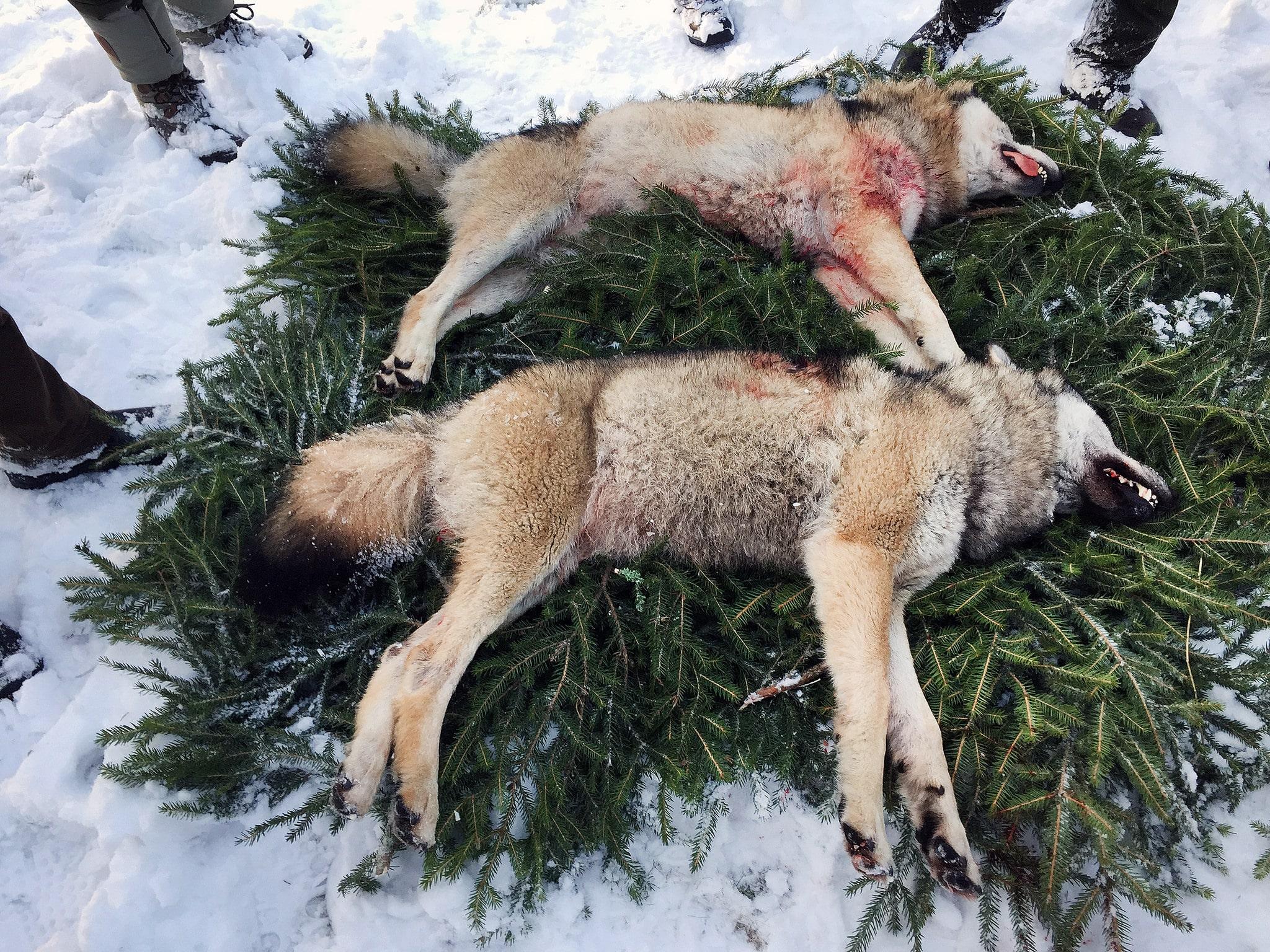 Under lördagen fälldes två vargar i nordvästra delen av Brattforsreviret. En hane på 44 kilo och en tik på 36,6 kilo. Foto: Anders Olsson