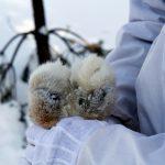 Det är bäddat för en ny rättstvist då både Rovdjursföreningen och Jägareförbundet har överklagat lojaktsbeslut i Mellansverige. Foto: Olle Olsson