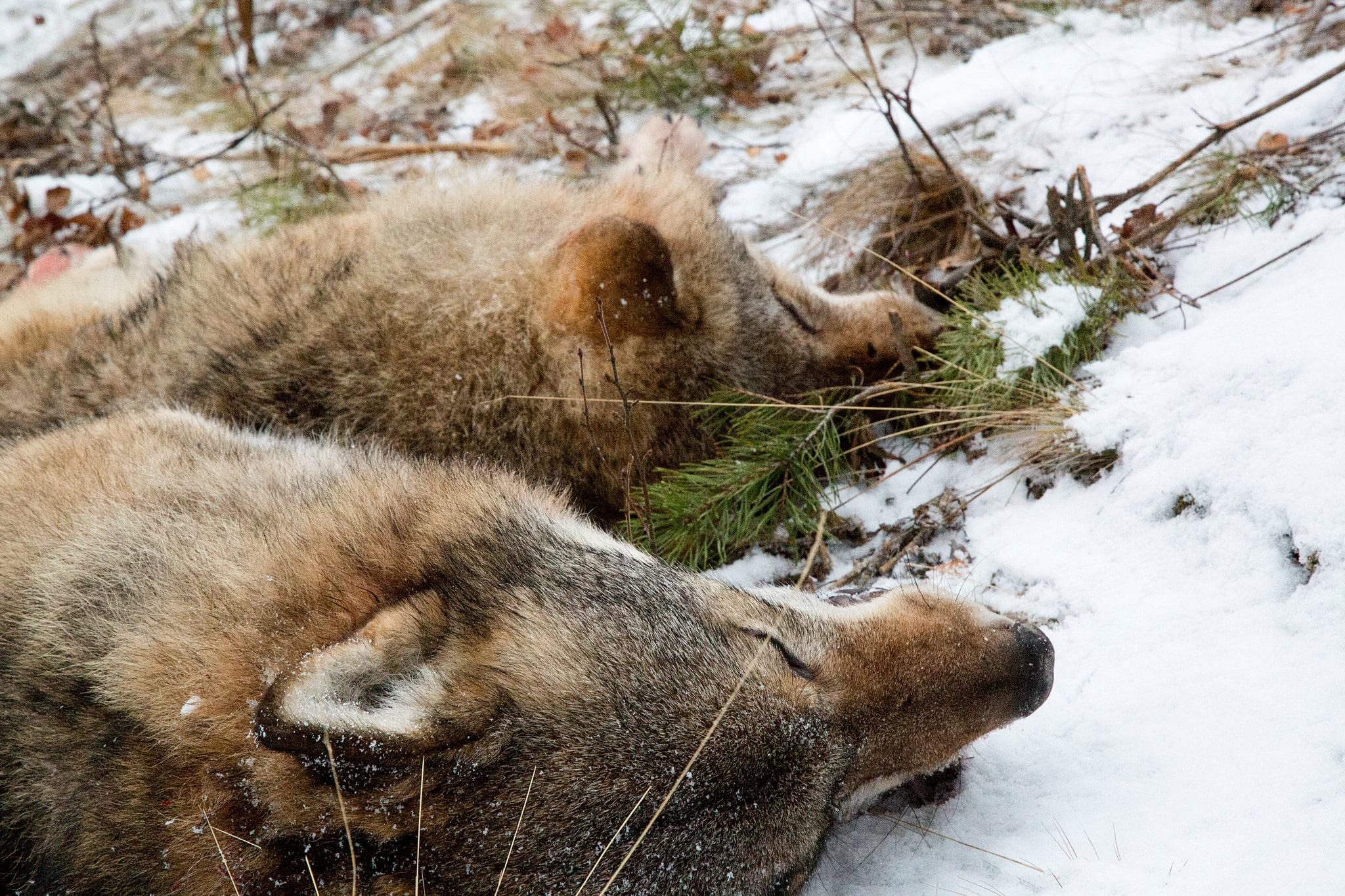 De två första vargarna som fälldes vid licensjakten i Blybergsreviret var med allra största sannolikhet alfaparet. Foto: Olle Olsson