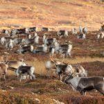 1.500 norska vildrenar kan komma att skjutas bort i ett försök att få bukt med den fruktade sjukdomen CWD. Foto: Kjell-Erik Moseid