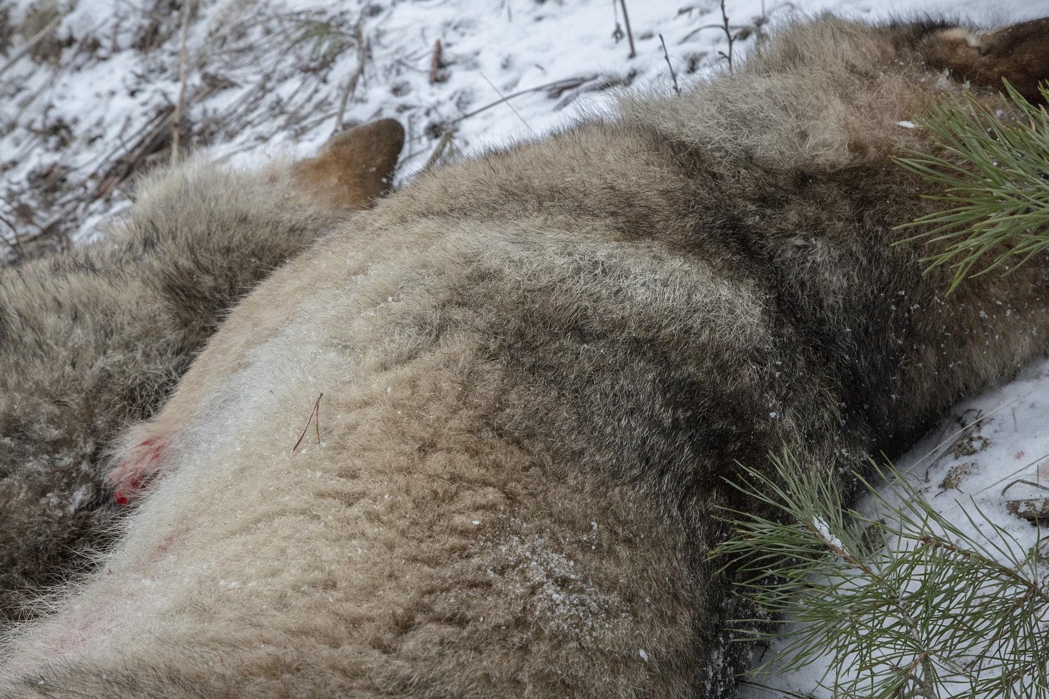 De två första vargarna som fällts under årets vargjakt. Foto: Olle Olsson