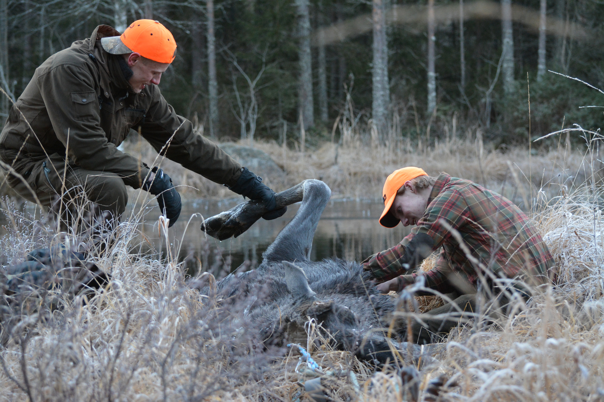 Än så länge är det människan som genom förvaltning, jakt och trafik står för den överlägset största påverkan på älgen.