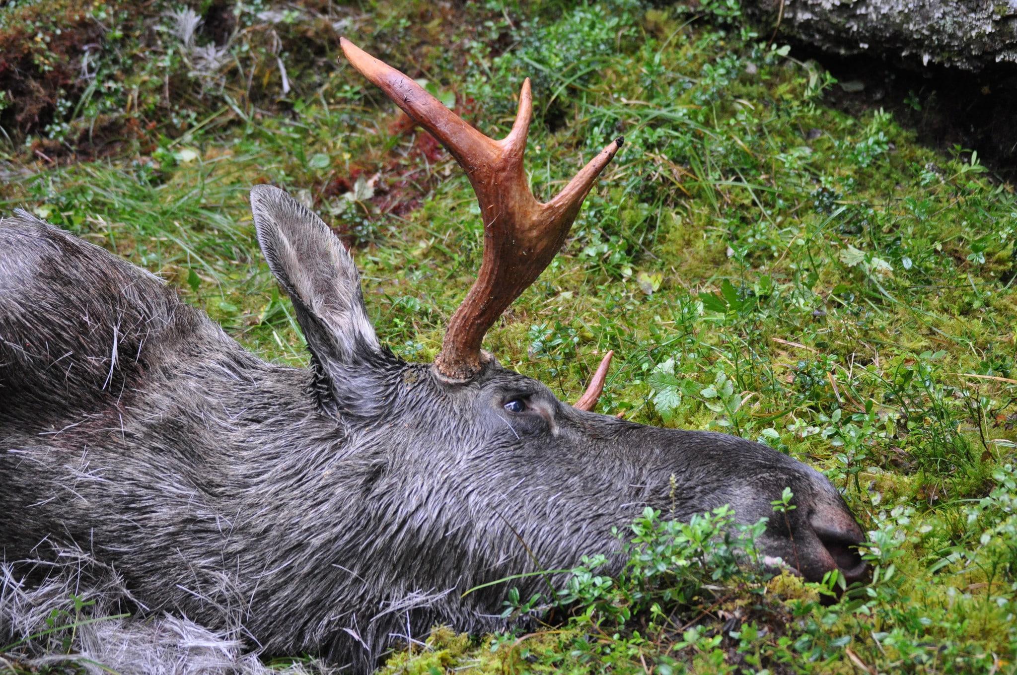 I områden med intresserade jägare och relativt gott om älg kan hitta så mycket som 80–85 procent av alla döda älgar.