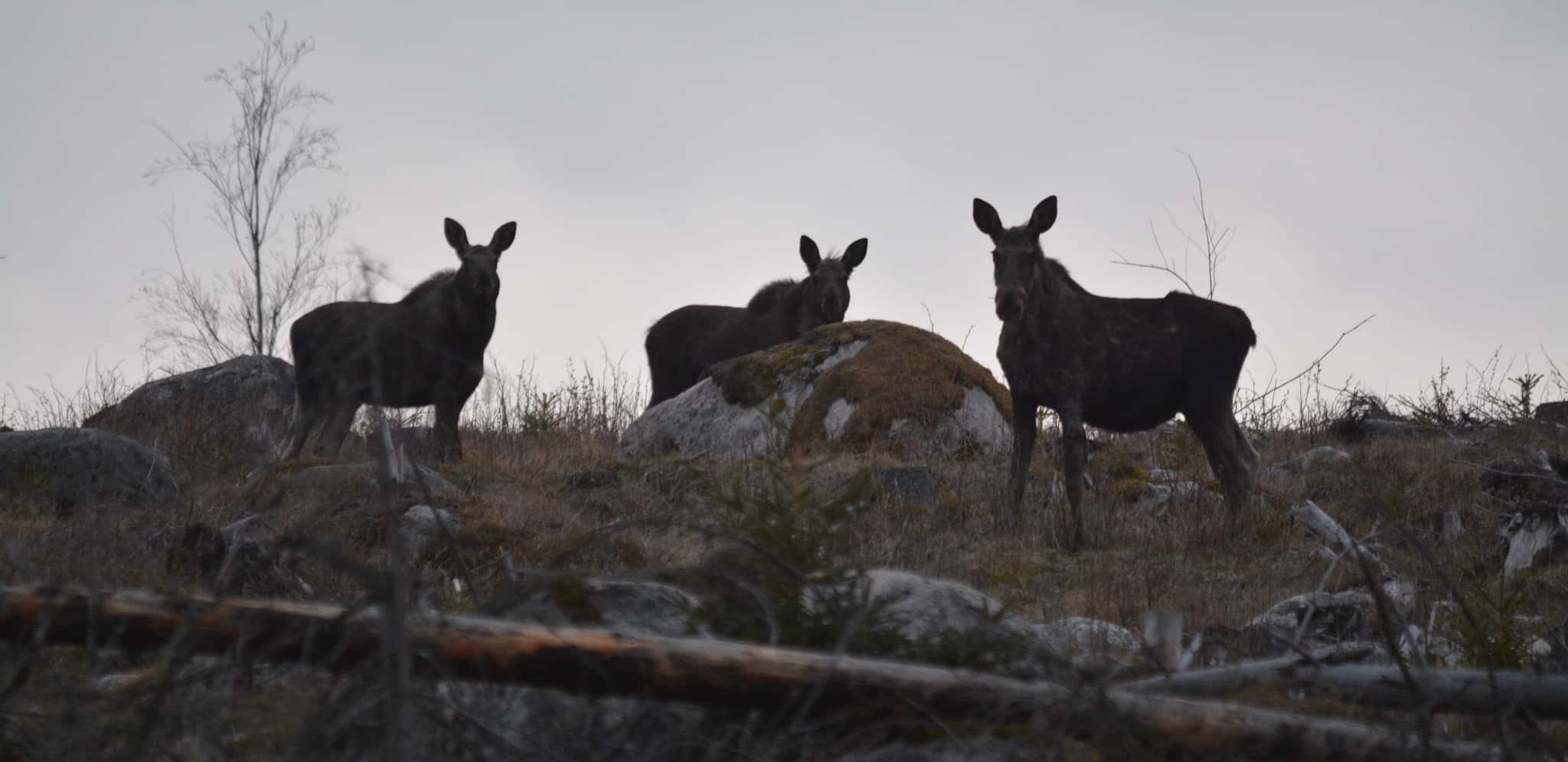 Normalt sett ökar älgstammen med cirka 30 procent på sommaren, för att sedan minska under jaktperioden.