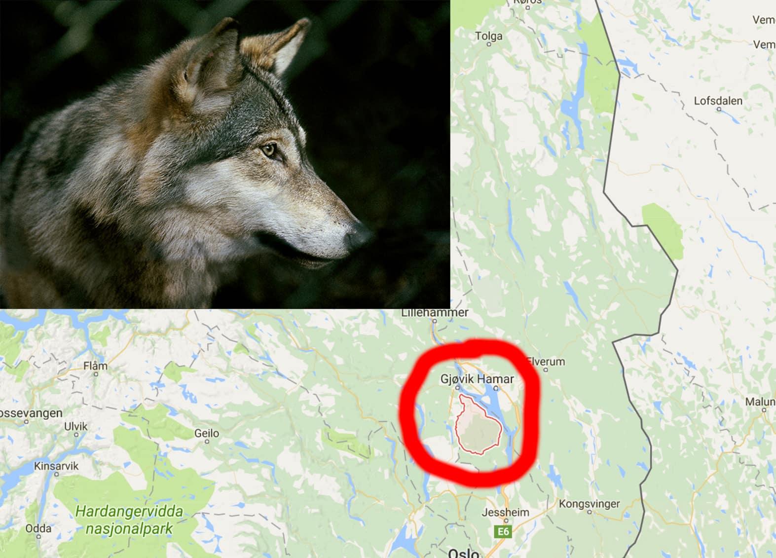 Annu en varg skjuten i norge