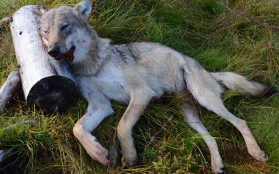 Den vargtik som dödat drygt 300 får i Norge kom från ett revir utanför Örebro. Foto: Ole Knut Steinset/SNO