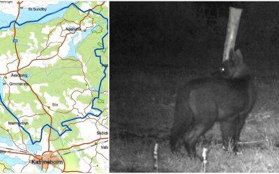 Ett åttonde djur sköts under helgen i Biereviret norr om Katrineholm.