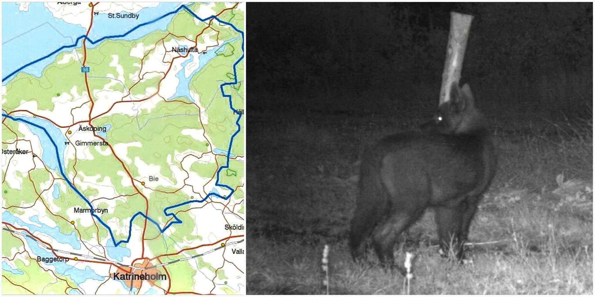 Vargtiken som fött hybridvalpar norr om Katrineholm är skjuten.