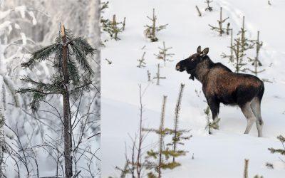 Vandringälgar från norr orsakar stora skador i ungskogsbestånden i dalgångarna nordväst om Överkalix. Foto: Lars-Henrik Andersson