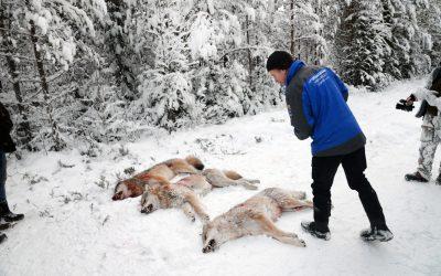 Länsstyrelsernas vargjaktsbeslut är otydliga. Att skjuta en varg utan att vara anmäld till Naturvårdsverkets jägarregister kan ställa till problem. Foto: Lars-Henrik Andersson