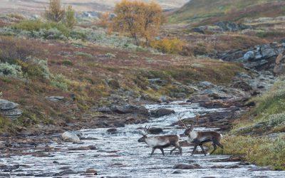 Nödvärnsrätten kan även gälla rovdjursangrepp mot ren i våra nationalparker. Foto: Kjell-Erik Moseid