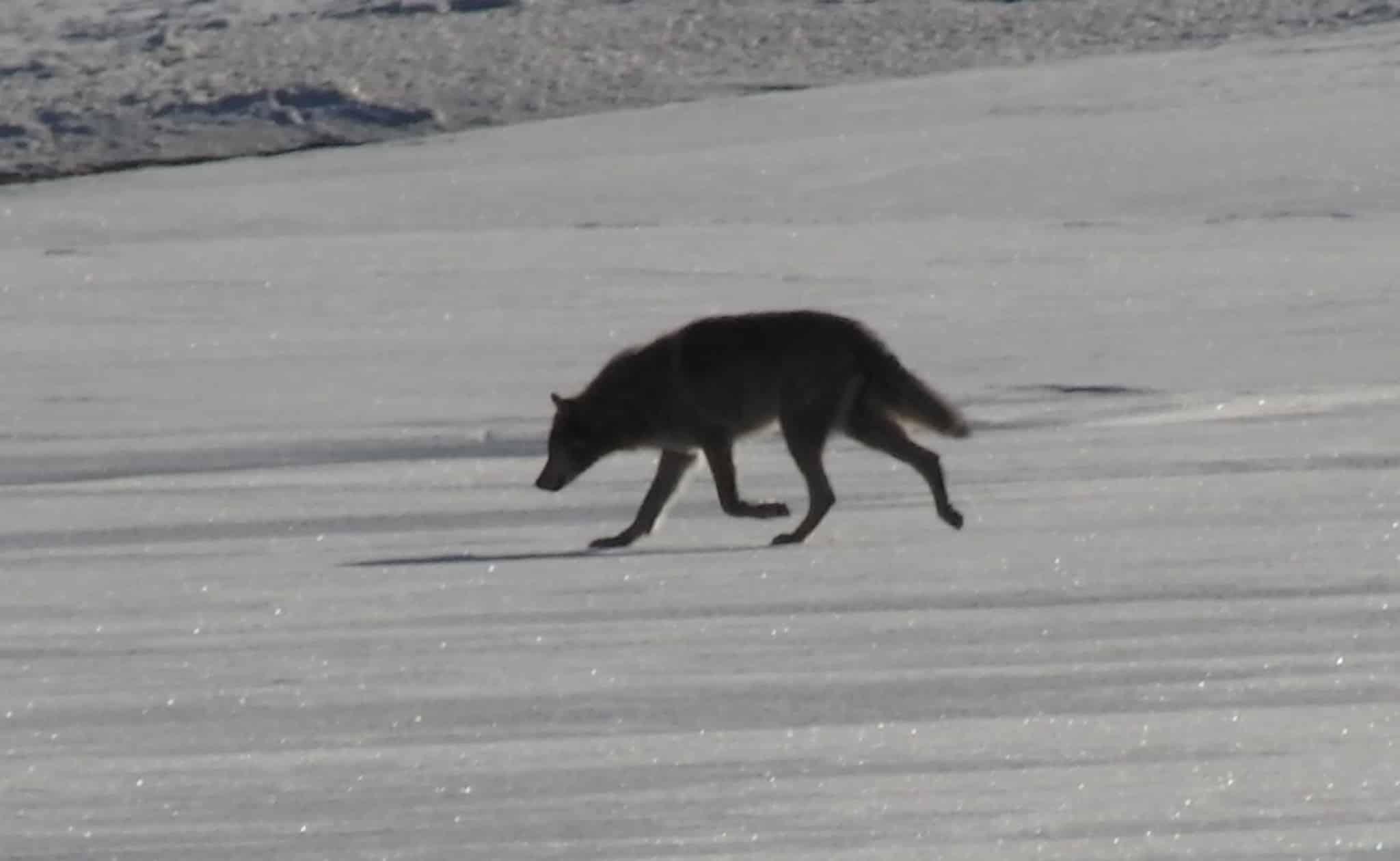 Varg skadskjuten under jakten i norge