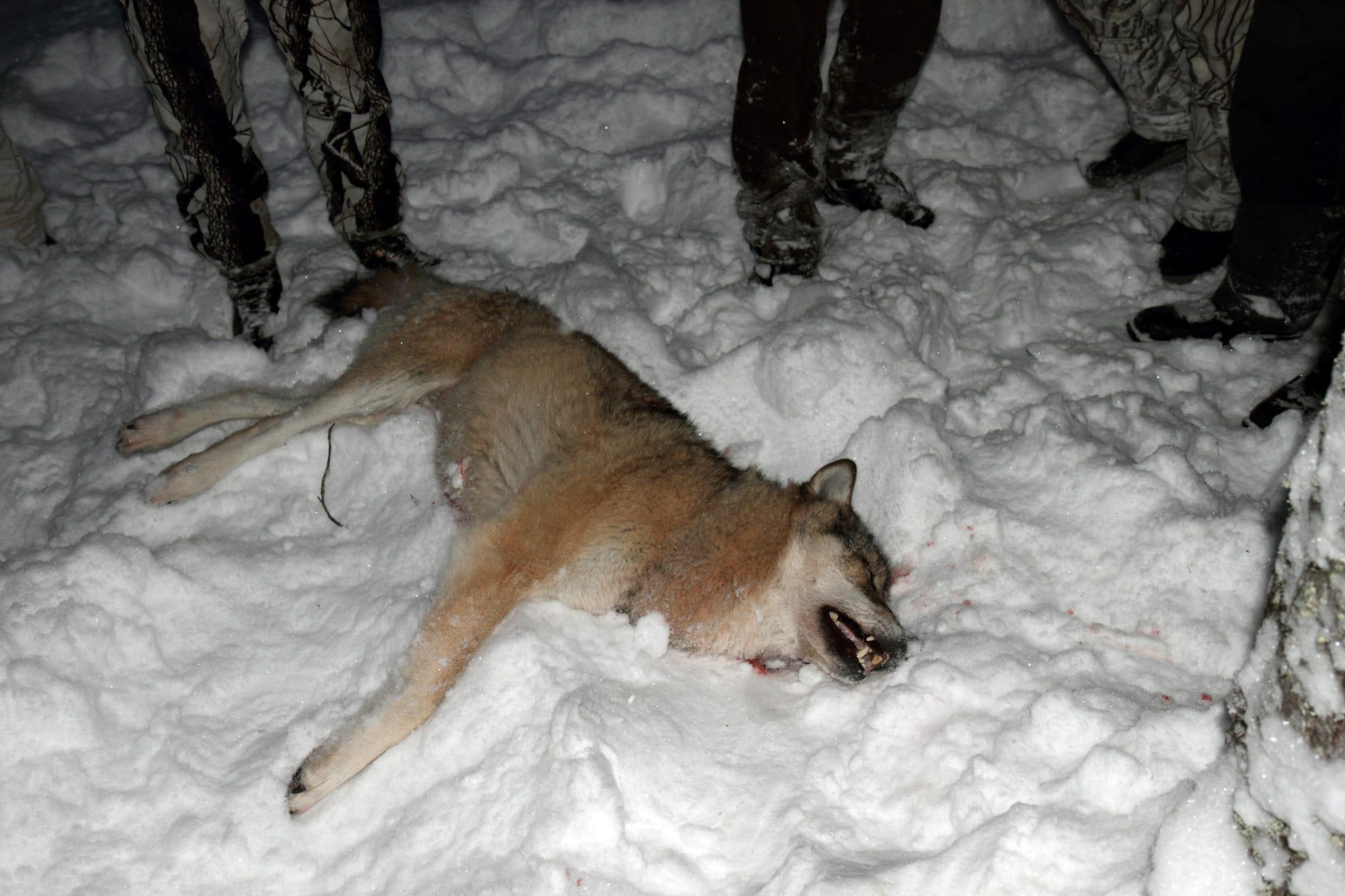 Den låga tilldelningen under vinterns vargjakt innebär att vi inte når riksdagens mål för vargstammen, hävdar skribenten. Foto: Olle Olsson