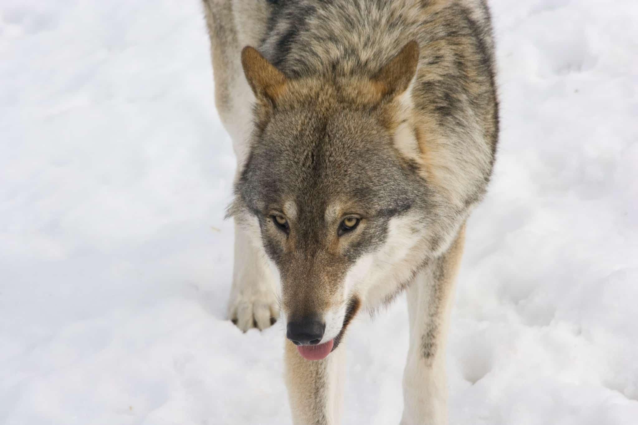 Länsstyrelsen i Jämtland har beviljat skyddsjakt på två vargar som befinner sig nära renhjordarna i Tåssåsens och Handöldalens renbetesmarker. I området finns mellan 2.000 och 3.000 renar. Foto: Mostphotos