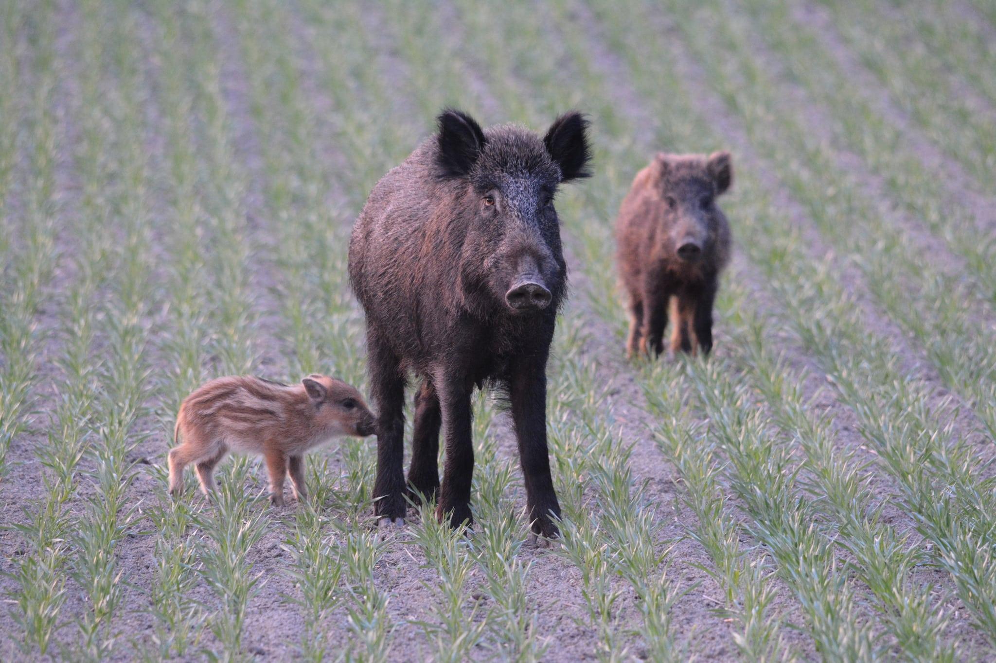 Modell för att stoppa utbrott av afrikansk svinpest testas på Södertörn. Foto: Johnny Olsson