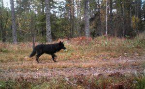 Ett svart hunddjur har fällts vid skyddsjakten efter varghybrider. Arkivfoto: Länsstyrelsen