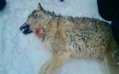 En av de fyra vargar som tidigare har skjutits på skyddsjakt i Rackstadsreviret. Nu ansöker jägare och markägare om utöka skyddsjakt. Foto: Bertil Forsberg