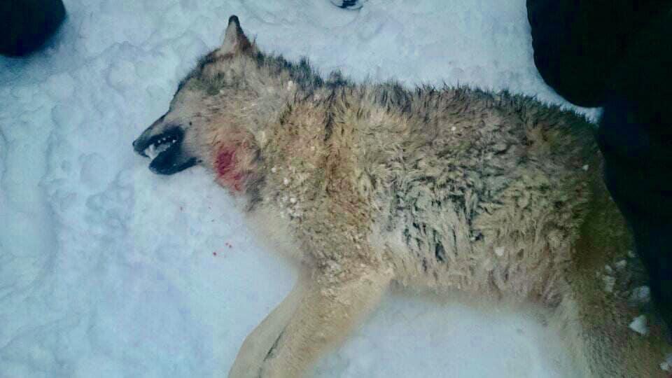 En av de vargar som tidigare har skjutits på skyddsjakt i Rackstadsreviret.