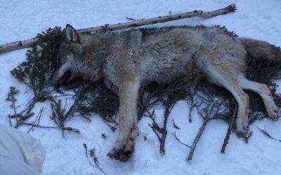 Vargjakten är över i Nyskogenreviret efter att en vargtik sköts på onsdagen. Foto: Privat