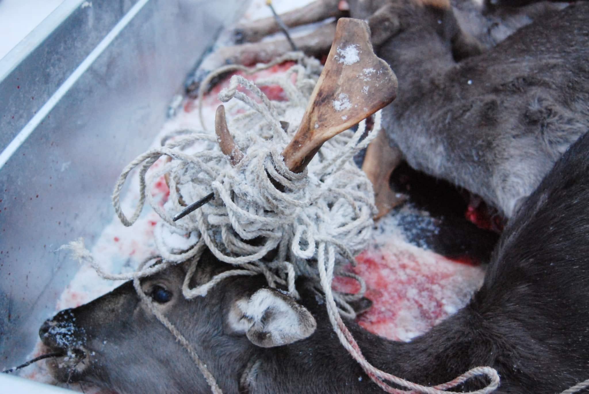 Dovhjorten hade gått en kvalfull död till mötes om inte jägaren lyckats avliva den. Foto: Per Sjöswärd