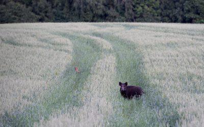 Vilda djur kan exponeras för växtgifter i jordbruket. Foto: Martin Källberg