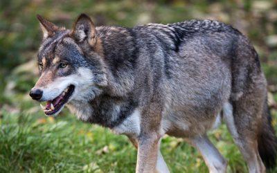 På 25 år har Frankrike gått från noll vargar till ett bestånd som förra vintern uppskattades till omkring 360 individer.