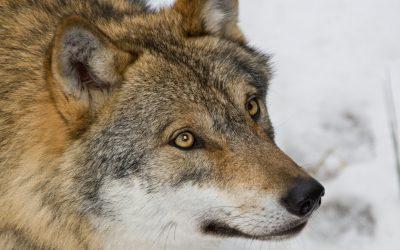 Jägareförbundet Dalarna ansöker om utökad licensjakt på varg.