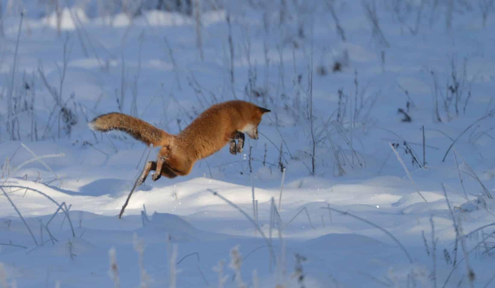 Var det en räv som jagade hästar i Västra Ämtervik?Länsstyrelsen i Värmland har säkrat dna från räv i hagen. Foto: Kenneth Johansson