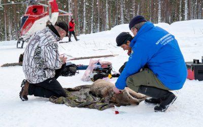 En varg förses med GPS-sändare.
