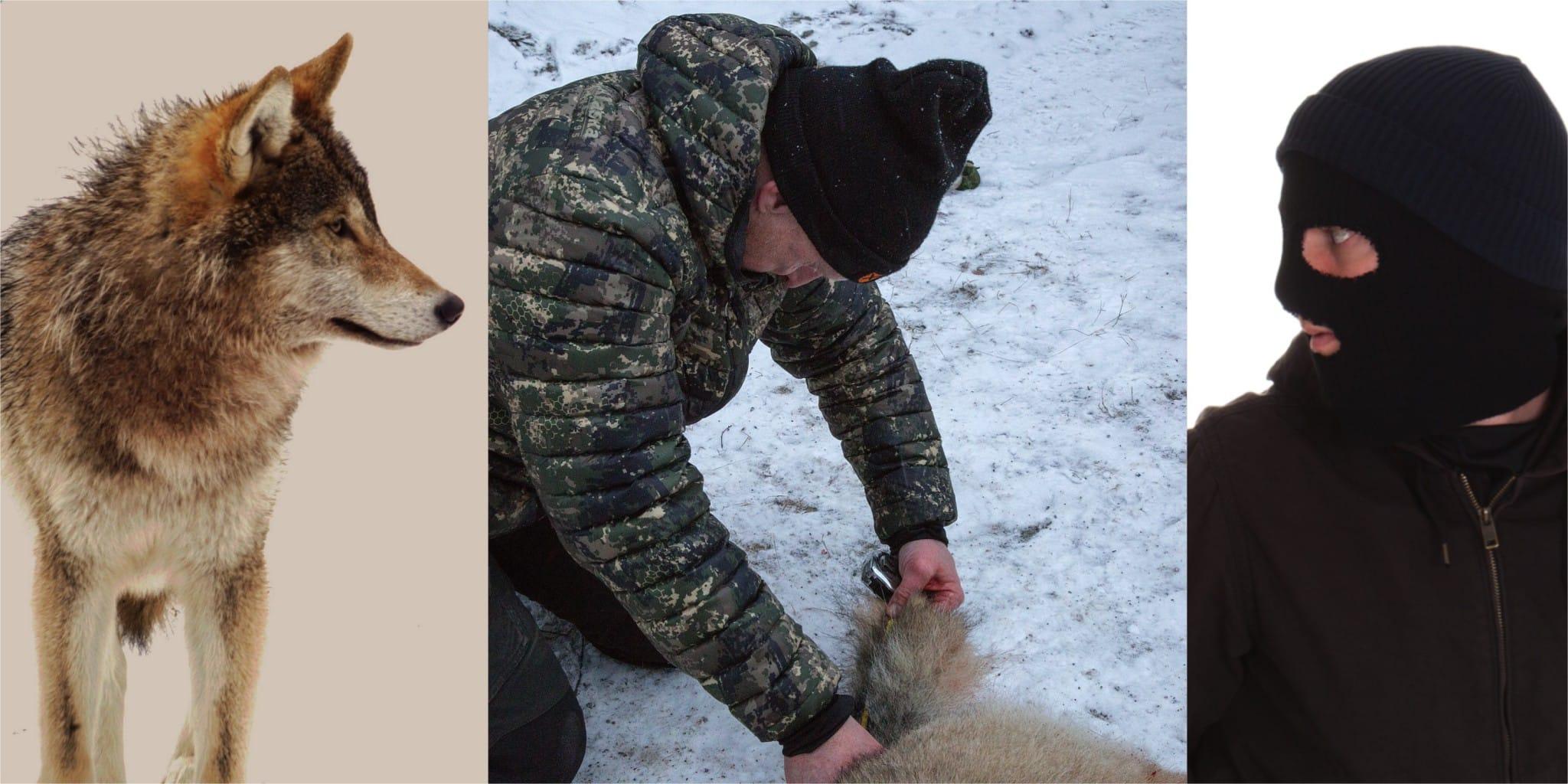 Iklädda rånarhuvor försöker aktivister sabotera licensjakten på varg i Kölstareviret. Arkivfoto: Mostphotos och Olle Olsson