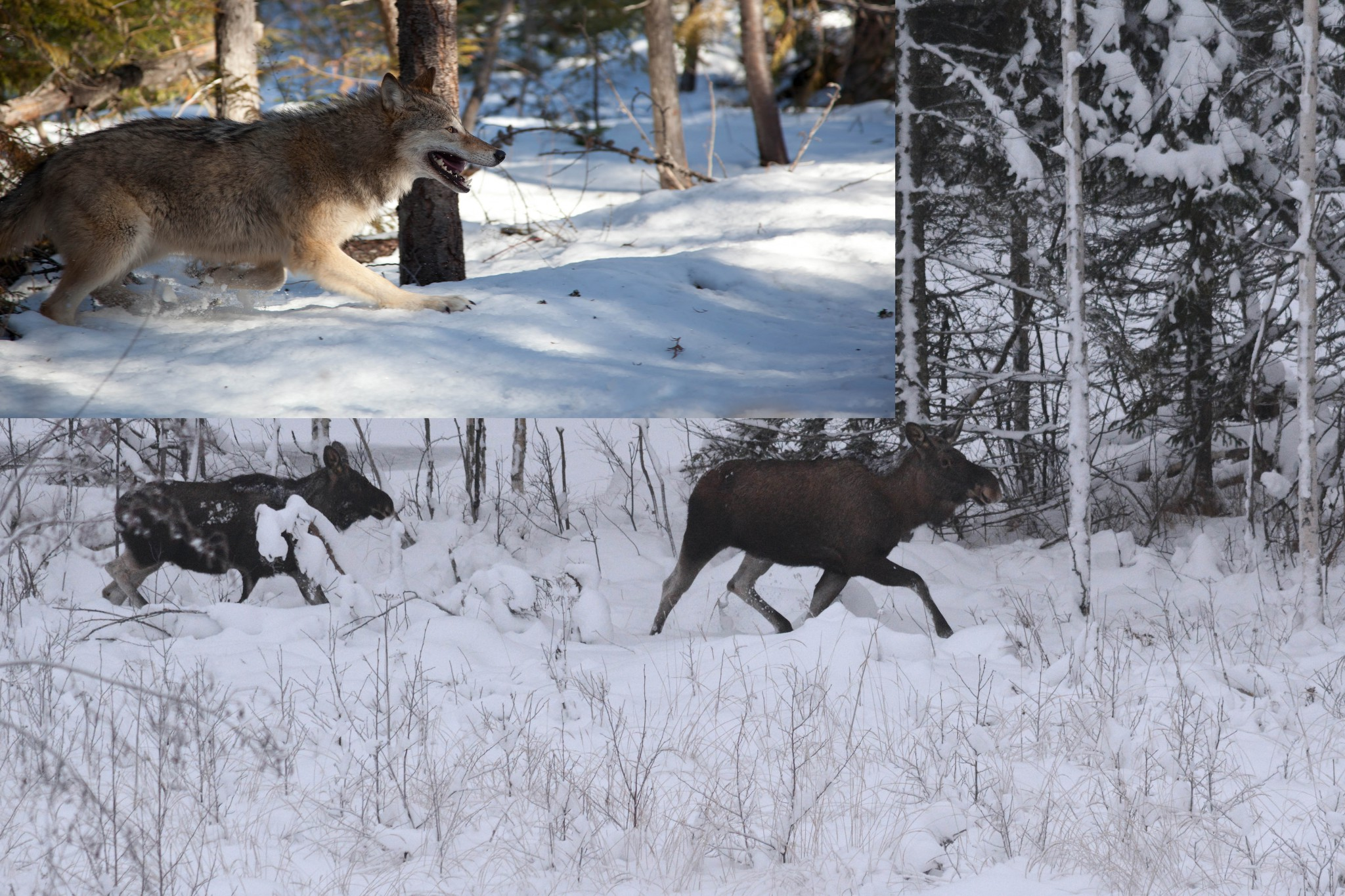 Hur har vargens återkomst i bland annat Värmland och gränsområdet till Norge påverkat älgstammen och jakten? Det är en av flera frågor ett stort treårigt forskningsprojekt nu ska ta reda på. Foto: Johnny Olsson (älgar) Mostphotos (varg)