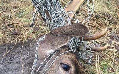Hjorten hade häststängsel stenhårt lindat runt hals och horn. Foto: Tommy Lindh