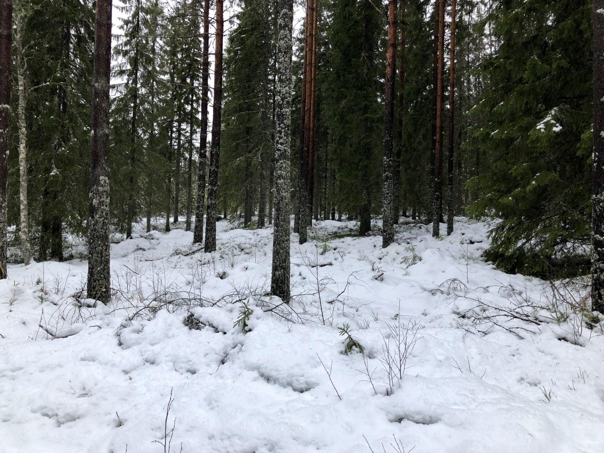 Så här ser snöläget ut just nu i Vimyrenreviret, Värmland.