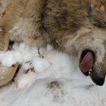 Jägarna i Kölstareviret i Västmanland sköt under tisdagsförmiddagen en vuxen hona. Det är den femte vargen som skjuts i jaktområdet, och ytterligare två vargar är på väg att ringas. Foto: Boo Westlund