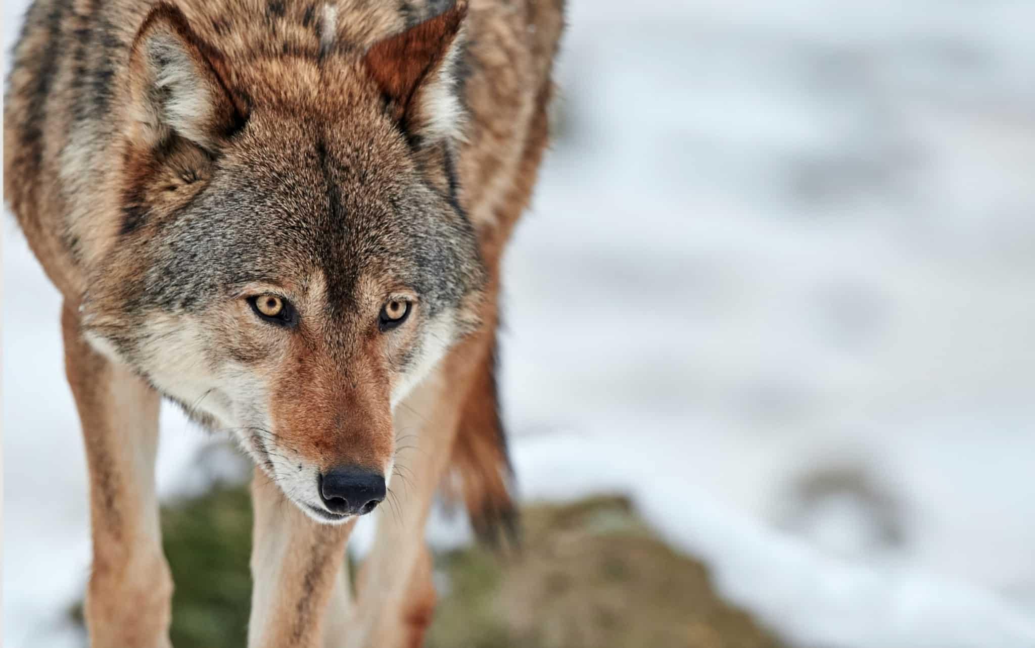 Totalt får 22 vargar fällas vid 2018 års licensjakt. Foto: Mostphotos