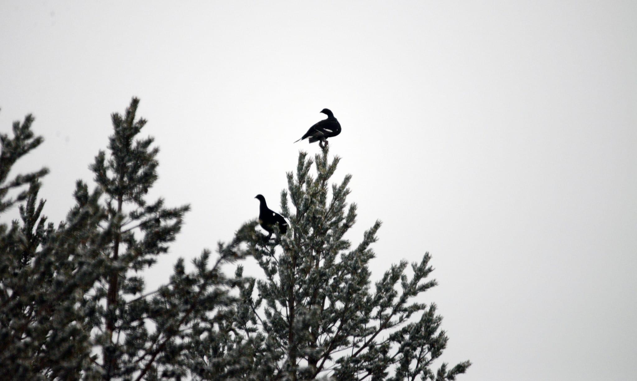 Det typiska toppfågelskottet riktas i en flack vinkel uppåt. Om kulan bommar fågeln kommer den troligen att slå ner i en ganska brant vinkel någon eller några kilometer bort. Jägarens ansvar är att välja en skjutplats där kulan kan skickas i säkrast möjliga riktning.