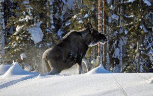 Förvaltningsrätten fastställer länsstyrelsen beslut att korta jakttiden på älg i Jönköpings län.