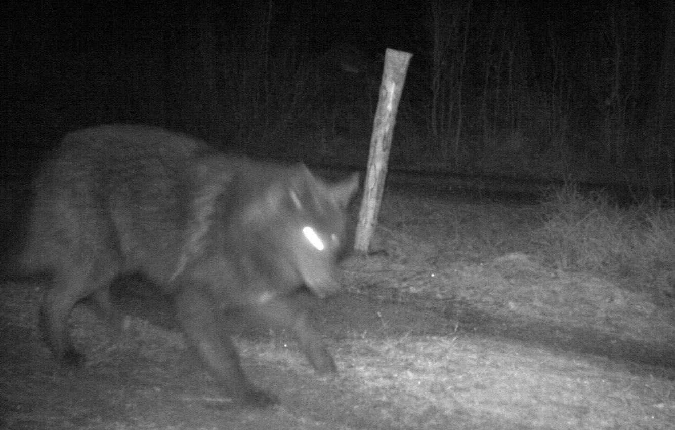 Under skyddsjakten på varghybrider och varg i Södermanland för ett drygt år sedan fälldes det individer, två vuxna vargar samt sex hybrider mellan varg och hund. Foto: Länsstyrelsen Södermanland
